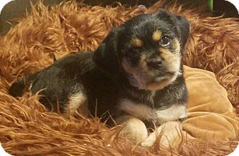 Boston Terrier/Poodle (Miniature) Mix Puppy for adoption in Hainesville, Illinois - Fresca