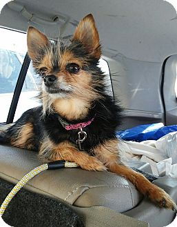 Chihuahua/Yorkie, Yorkshire Terrier Mix Dog for adoption in Florence, Kentucky - Lexi