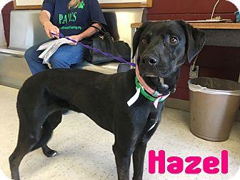 Labrador Retriever Mix Dog for adoption in Mesa, Arizona - HAZEL 2 1/2 YR LAB FEMALE