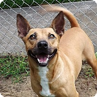 Adopt A Pet :: Eevee - San Leon, TX