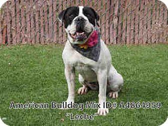 American Bulldog/English Bulldog Mix Dog for adoption in Beverly Hills, California - LECHE