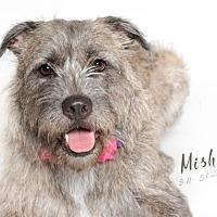Adopt A Pet :: MISHA - Katy, TX