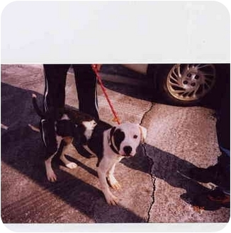 American Bulldog/American Pit Bull Terrier Mix Dog for adoption in Baltimore, Maryland - FOSTER-2