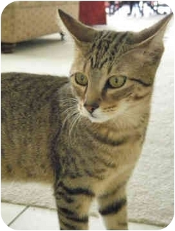 Domestic Shorthair Cat for adoption in Tampa, Florida - Bodie