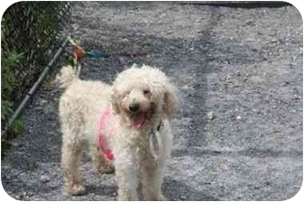Poodle (Miniature) Mix Dog for adoption in Islip, New York - Pierre
