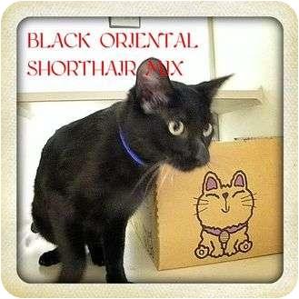 Oriental Cat for adoption in Pueblo West, Colorado - Lurch