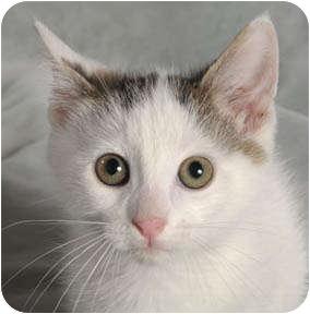 Domestic Shorthair Kitten for adoption in Chicago, Illinois - Jackalope
