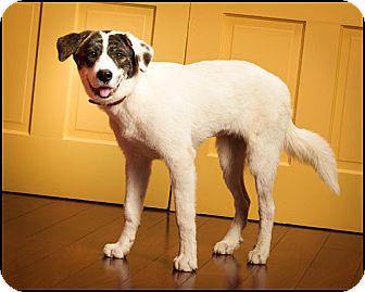 Great Pyrenees/Australian Shepherd Mix Puppy for adoption in Owensboro, Kentucky - Alice