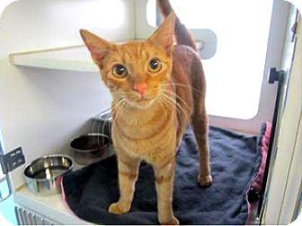Domestic Shorthair Cat for adoption in Bradenton, Florida - Butterscotch