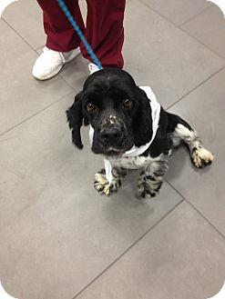 Cocker Spaniel Dog for adoption in Ogden, Utah - Jasper