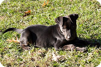 Catahoula Leopard Dog/Labrador Retriever Mix Puppy for adoption in Clinton, Louisiana - Jake