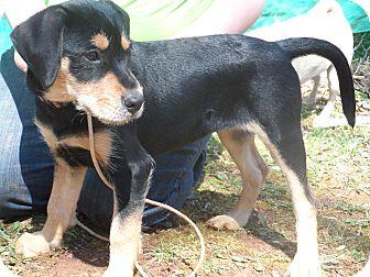 Schnauzer (Miniature) Mix Puppy for adoption in Bedford, Virginia - Angel