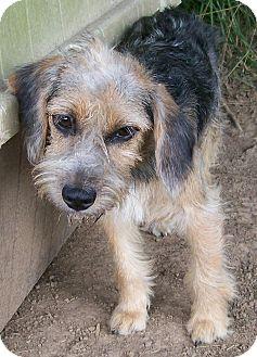 Schnauzer (Standard) Mix Dog for adoption in Centerville, Tennessee - Veronica