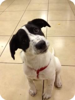 Dalmatian/Labrador Retriever Mix Puppy for adoption in Treton, Ontario - aspen(coursity post)