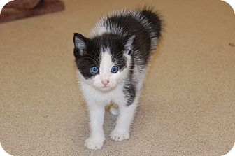 Domestic Shorthair Kitten for adoption in Bucyrus, Ohio - Pipes