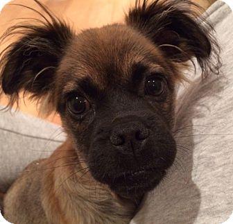 Pug/Spaniel (Unknown Type) Mix Puppy for adoption in San Pedro, California - Mo