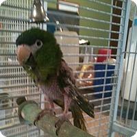 Adopt A Pet :: Julio (Sir John) - Lenexa, KS