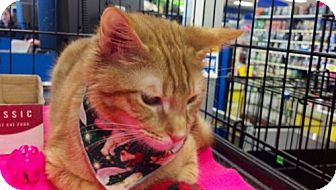 Domestic Shorthair Cat for adoption in Avon, Ohio - Dominic