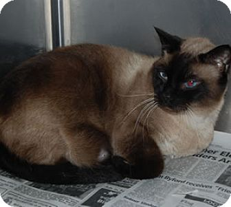 Siamese Cat for adoption in Corinth, Mississippi - Simon