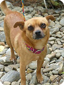 Chihuahua/Pomeranian Mix Dog for adoption in Fayetteville, North Carolina - Hugo