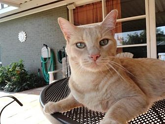 Domestic Shorthair Cat for adoption in Baton Rouge, Louisiana - Drew (courtesy listing)