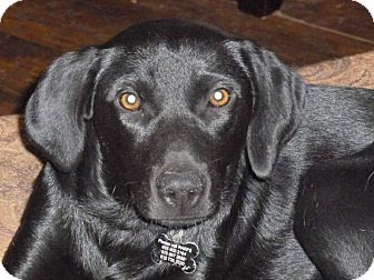 Labrador Retriever/Great Dane Mix Dog for adoption in Cookeville, Tennessee - Ebony