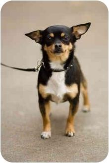 Chihuahua Dog for adoption in Portland, Oregon - Coco