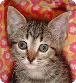Domestic Shorthair Kitten for adoption in Garland, Texas - Rummy