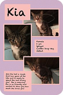 Domestic Shorthair Cat for adoption in CLEVELAND, Ohio - Kia
