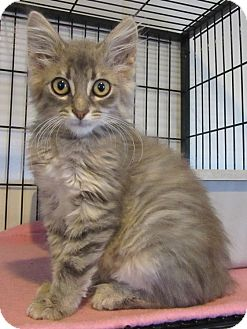 Domestic Mediumhair Kitten for adoption in Glenwood, Minnesota - Simone