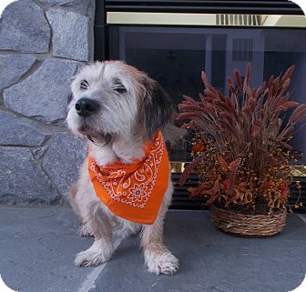 Terrier (Unknown Type, Medium) Mix Dog for adoption in Purcellville, Virginia - Mr. Shnookles