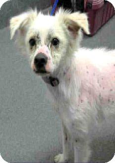 Australian Shepherd/Spaniel (Unknown Type) Mix Dog for adoption in Boulder, Colorado - Astro-ADOPTION PENDING