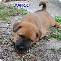 Adopt A Pet :: Marco (fostered in SC) - Cranston, RI
