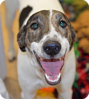 Greyhound/Labrador Retriever Mix Dog for adoption in Indianapolis, Indiana - Jonas