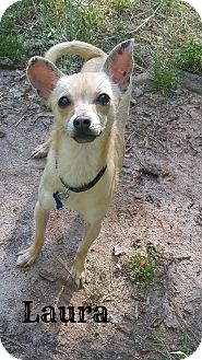 Chihuahua Mix Dog for adoption in Chester, Connecticut - Laura
