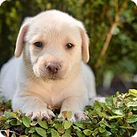 Adopt A Pet :: Ron - San Antonio, TX