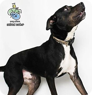 American Pit Bull Terrier Mix Dog for adoption in Knoxville, Tennessee - Diesel