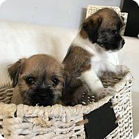Adopt A Pet :: Five Border Terrier Shih Tzu - Inglewood, CA