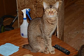 Manx Cat for adoption in Riverside, California - Mosely