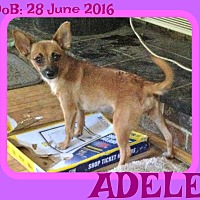 Adopt A Pet :: ADELE - White River Junction, VT
