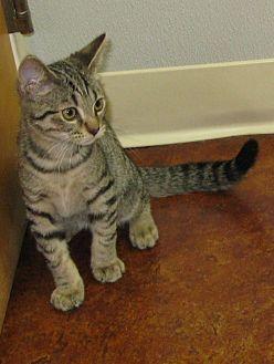 Domestic Shorthair Kitten for adoption in Bedford, Virginia - Gilley