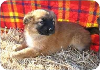 Husky Mix Puppy for adoption in Marion, North Carolina - Nala