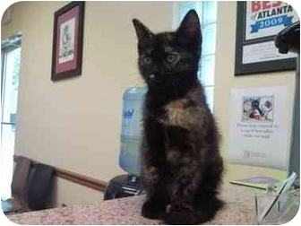 Domestic Shorthair Kitten for adoption in Atlanta, Georgia - Shelly