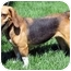 Photo 2 - Beagle Mix Dog for adoption in Overland Park, Kansas - Sadie