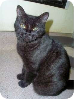 Domestic Shorthair Cat for adoption in San Clemente, California - PATTY