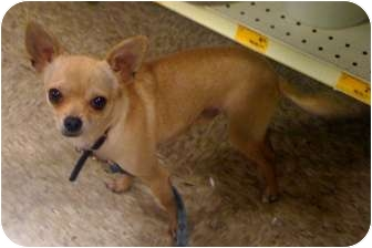 Chihuahua/Terrier (Unknown Type, Small) Mix Dog for adoption in Fowler, California - Pumpkin