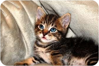 Domestic Shorthair Kitten for adoption in Tillamook, Oregon - Tiger