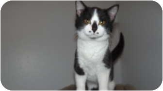 American Shorthair Kitten for adoption in Stockton, Missouri - FU MAN CHU