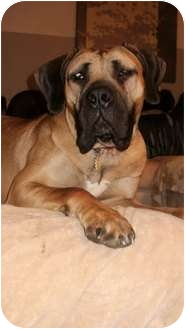 Mastiff Dog for adoption in Virginia Beach, Virginia - Sheila