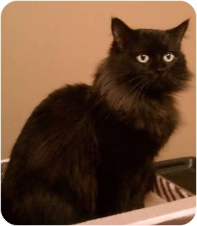 Maine Coon Cat for adoption in Charlotte, North Carolina - Teddy